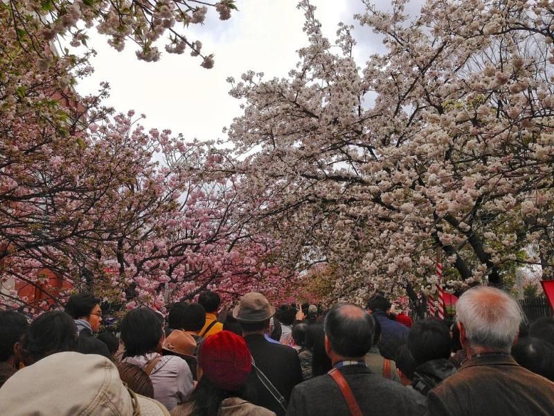 Foodicles Osaka Cherry Blossom 1