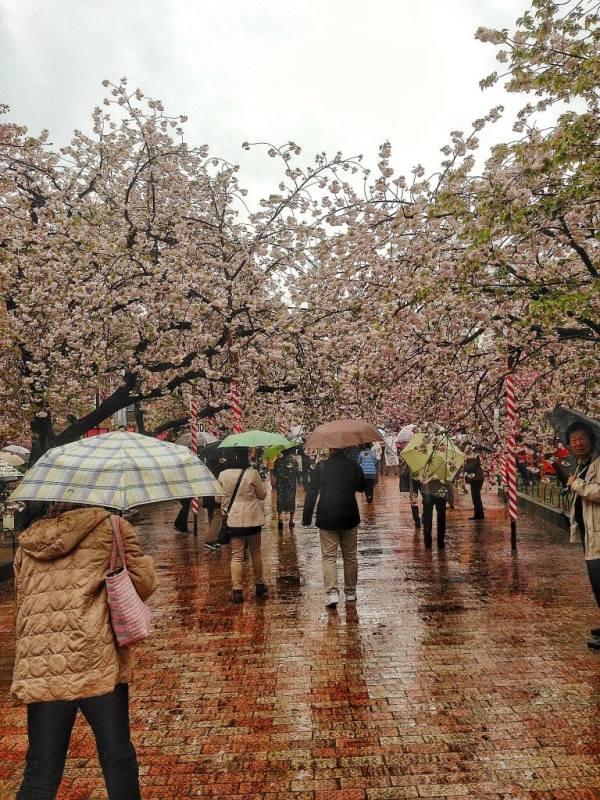 Foodicles Osaka Cherry Blossom 3