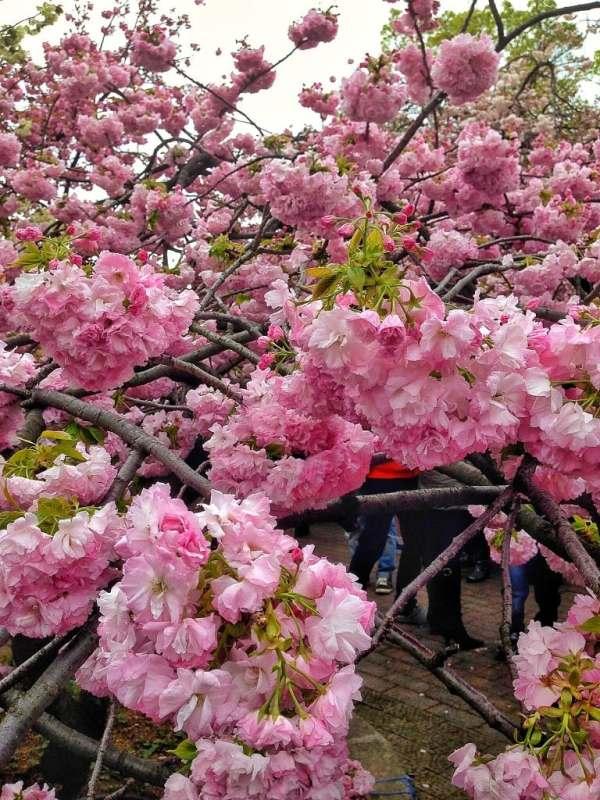 Foodicles Osaka Cherry Blossom 7