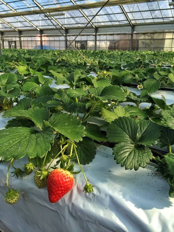Foodicles Izu Strawberry 1