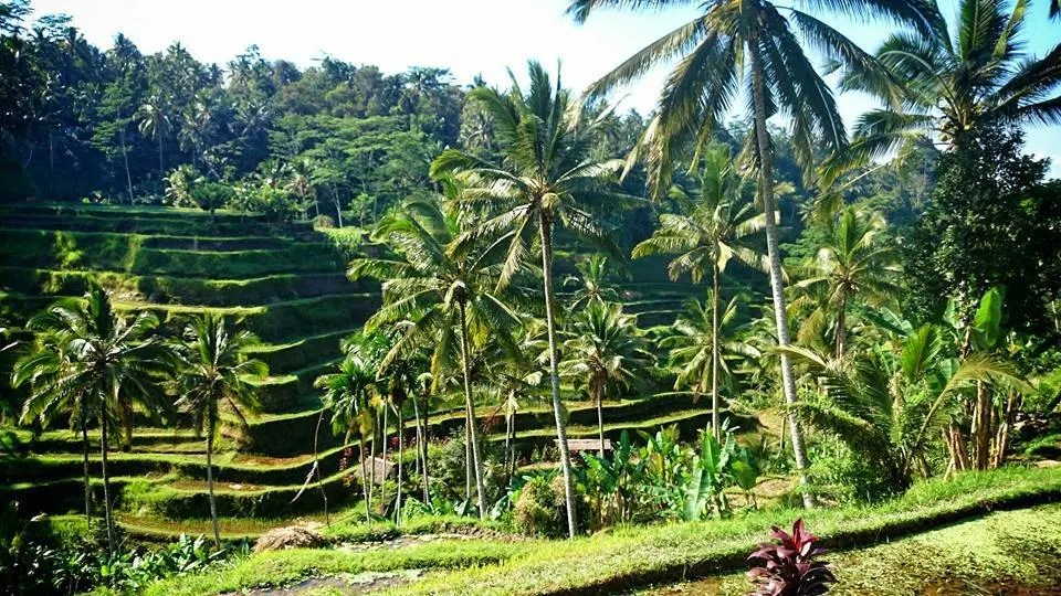 rice terraces Ubud - Ultimate Bali Travel Guide