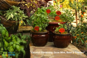 Cocktail Garden Herbs Basil Cilantro and Mint planted in coordinating containers