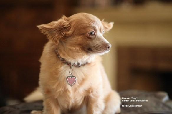 Long Hair Chihuahua Foxy Bovshow Foodie Gardener