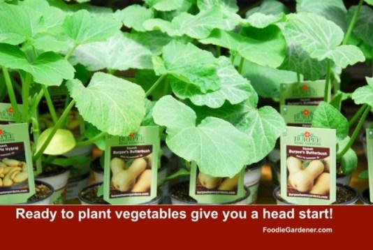 Butternut squash growing in plastic pots burpee home gardens foodie gardener blog
