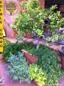 Container Citrus Tree Herb Combination Foodie Gardener