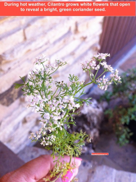 cilantro-flowers-green-seed-pods