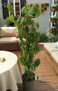 beautiful kiwi vine in container foodie gardener