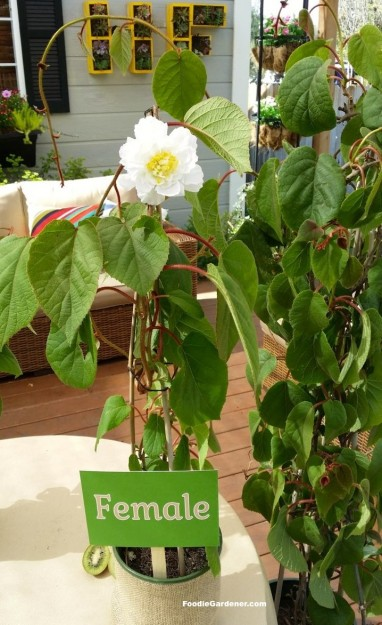 female kiwi flower replica on kiwi vine foodie gardener