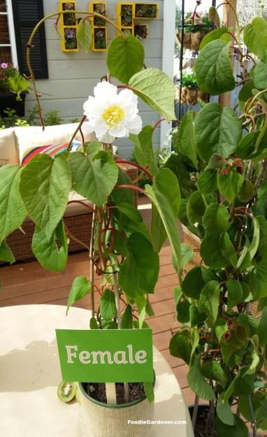 female kiwi flower replica on kiwi vine foodie gardener