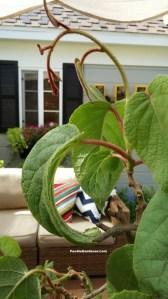 new burgandy stems on kiwi vine velvety leaves