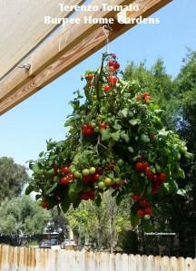 Terenzo Hanging cherry red tomato 1 oz fruit foodie gardener