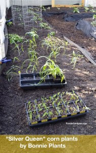 small Silver Queen corn plants planted in garden bed every two weeks to extend harvest foodie gardener