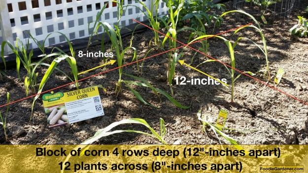 square foot spacing corn small garden by foodie gardener shirley bovshow