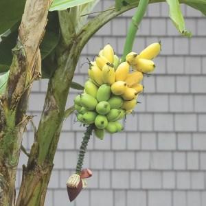 banana Veinte Cohol Logees Nursery