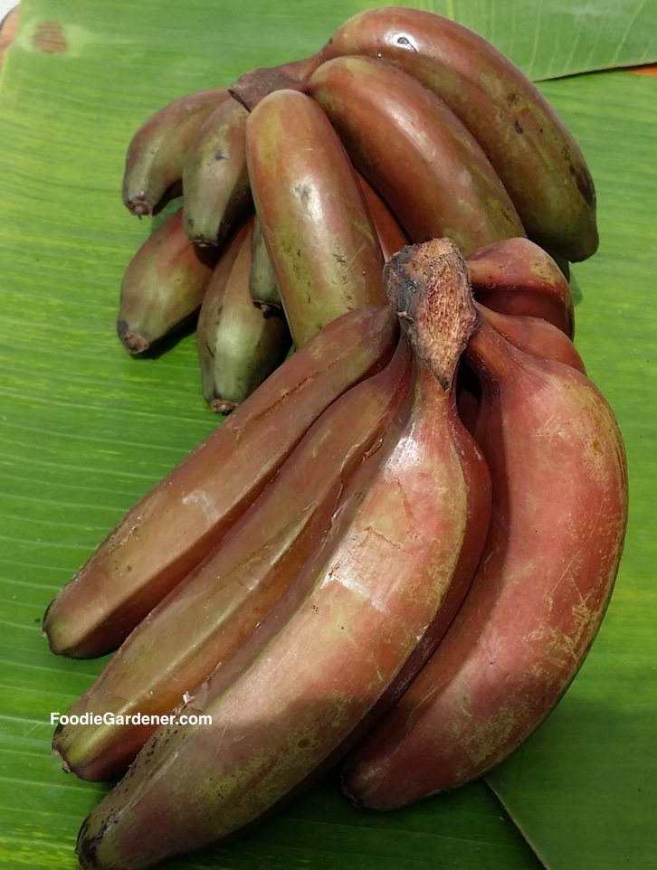 red banana bunch on banana leaf shirley bovshow foodie gardener