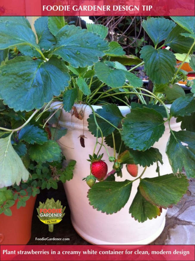 RED JUNE BEARING STRAWBERRY in WHITE CONTAINER FOODIE GARDENER design idea