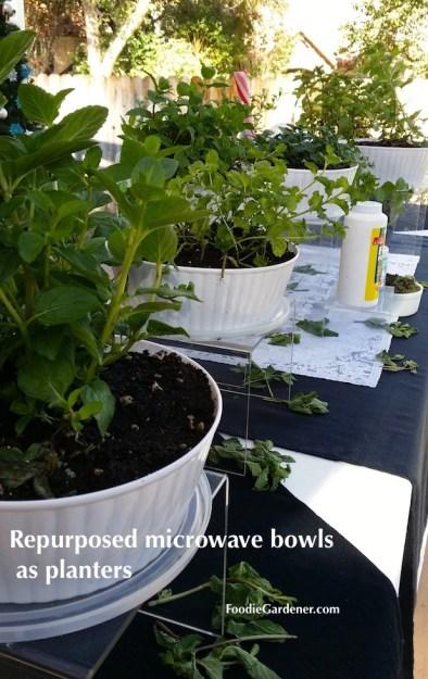 White plastic planters mint plants foodie gardener blog