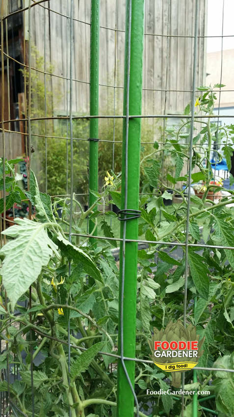 tie-wire-around-metal-fence-and-plastic-landscape-pole-tomato-tower-support-shirley-bovshow-foodie-gardener-blog