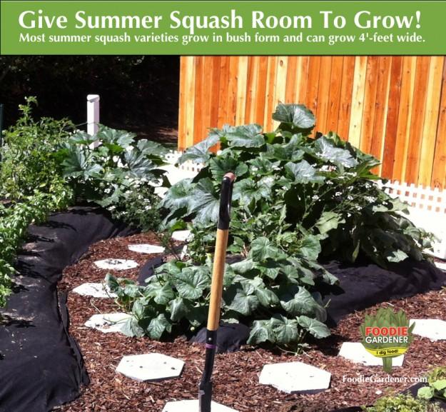 large-zucchini-plant-growing-in-garden-foodie-gardener-blog