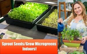 Microgreens growing under grow lights indoors.