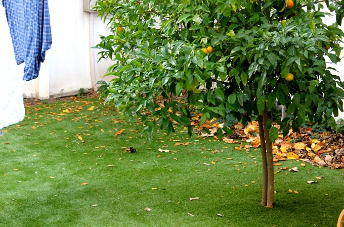 I never get sick of my (rented) tangerine tree