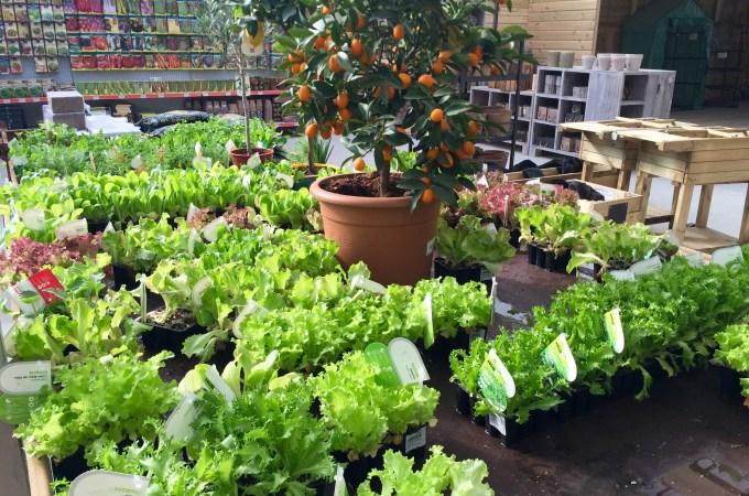 Bordas lettuces