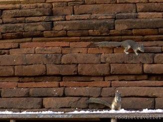 Squirrels at Tamani Oak-kyaung