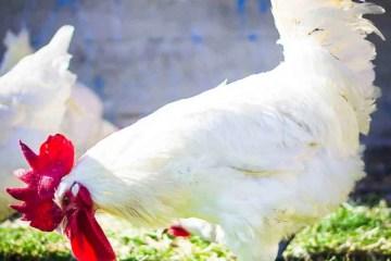 Coq au vin odnosno pivac u vinu gastro je ikona Burdundije