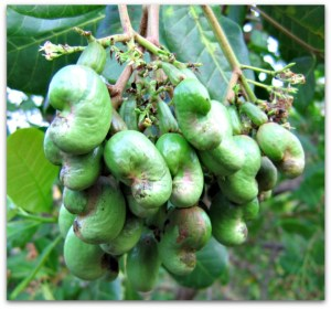 827px-young_cashew_nuts-6601