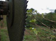 Pruning on a coffee farm