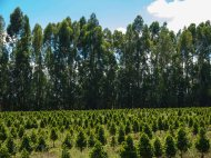 Young Coffee Trees Daterra