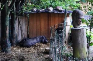 Farm animals resting in the backyard