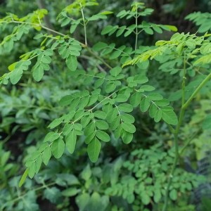 Moringa (Drumstick) Leaves, a rich source of Vitamin B6