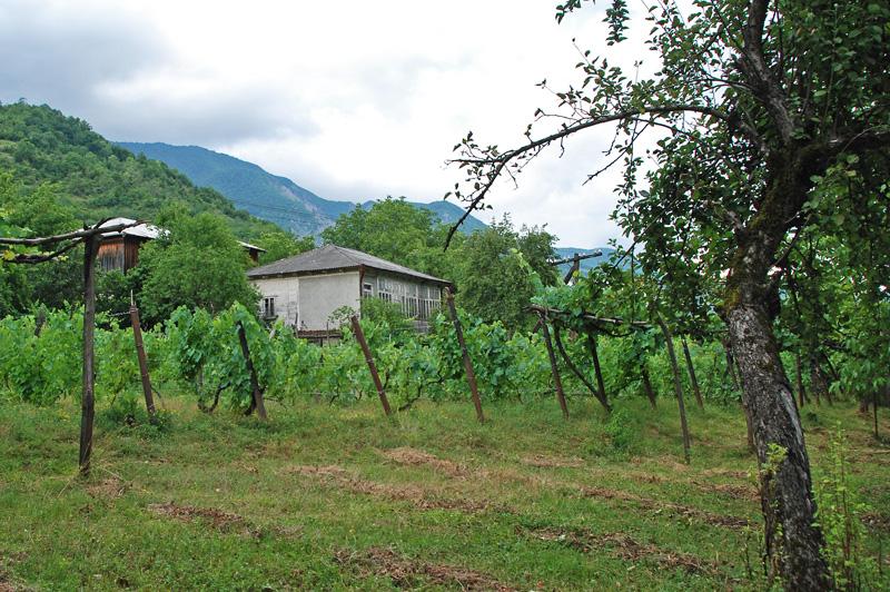 Khvanchkara - Vines