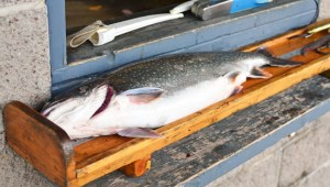 Lake Ontario Fishing - Lake Trout