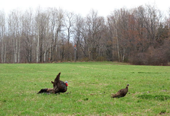 Turkey Hunting - New York