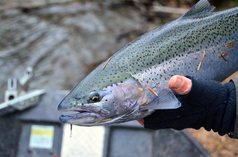 Salmon River Steelhead