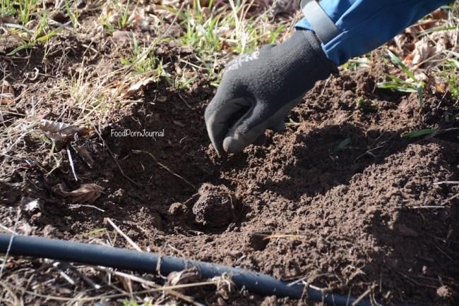 Blue Frog Truffles truffle dig