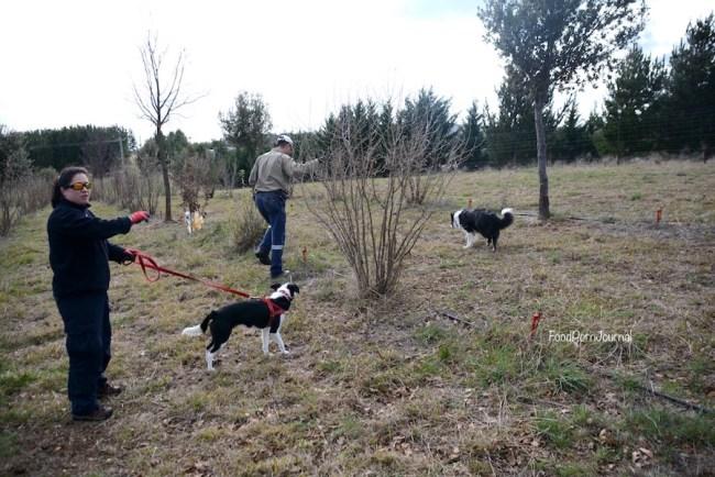 Blue Frog Truffles truffle hunt dogs