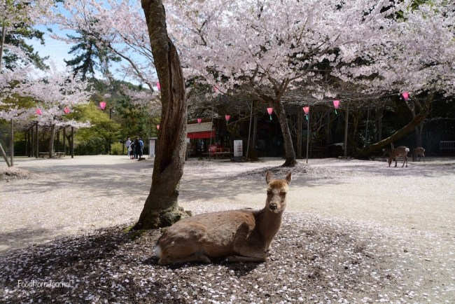 Japan Miyajima Island deer