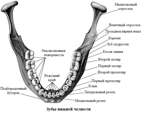 Строение нижней челюсти человека фото с описанием