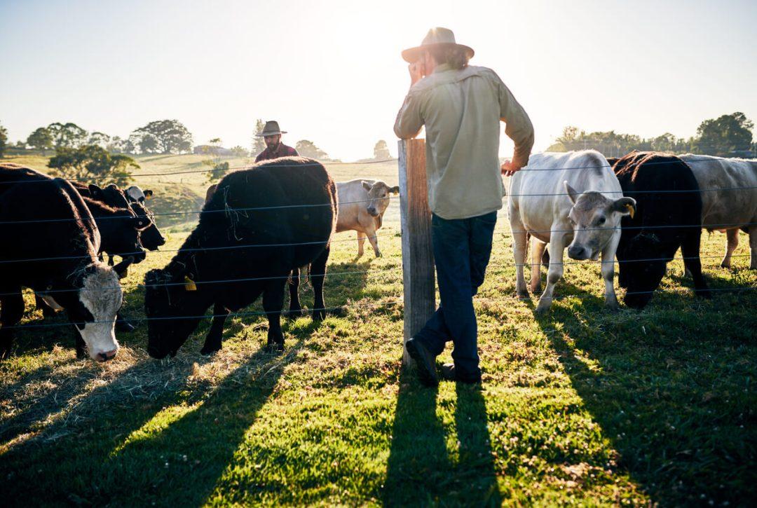看著他的牛的再生農業農夫