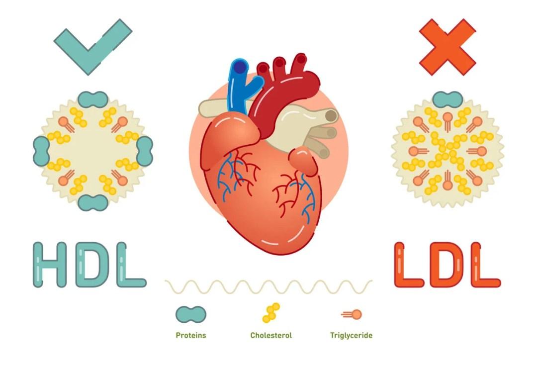 HDL和LDL膽固醇圖形
