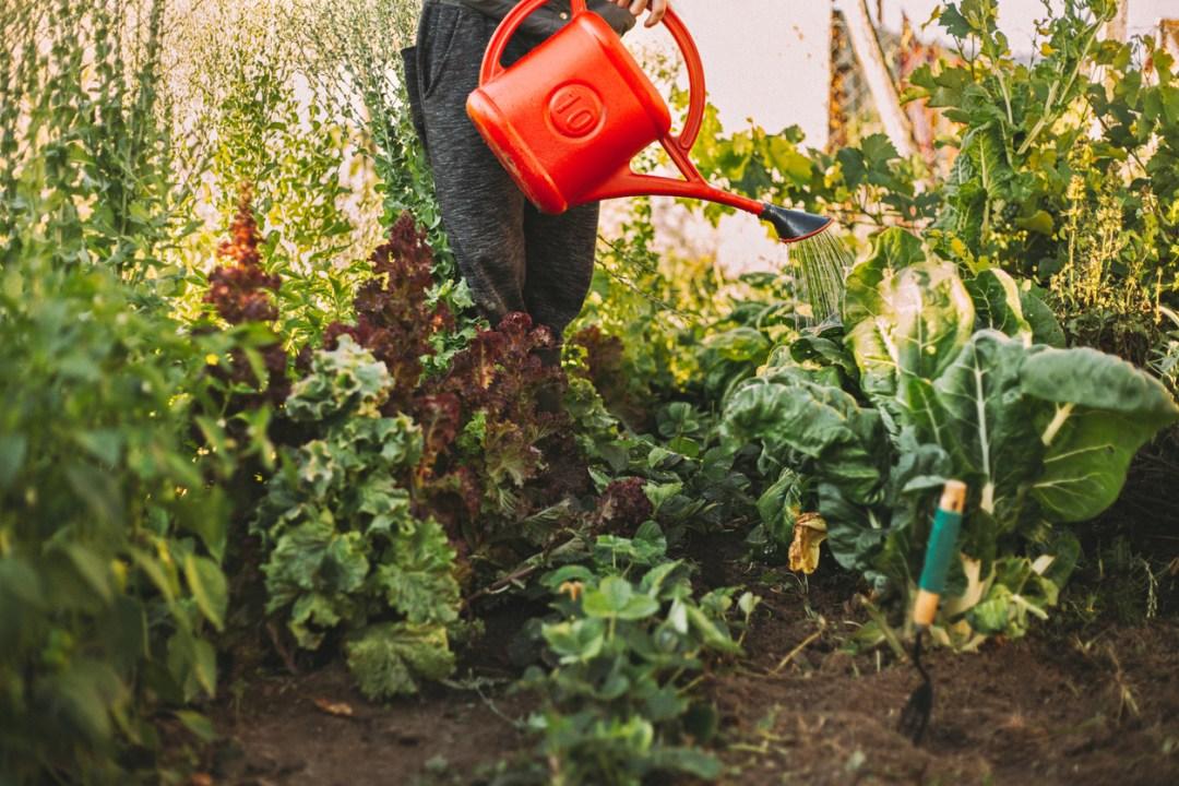 食用花園澆水