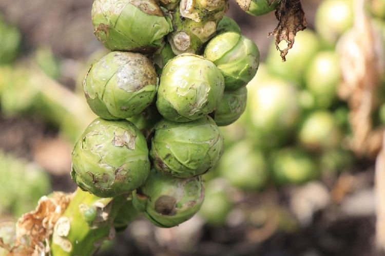 brussel sprouts on a stock