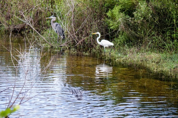 Wildlife Everglades US Hwy 41