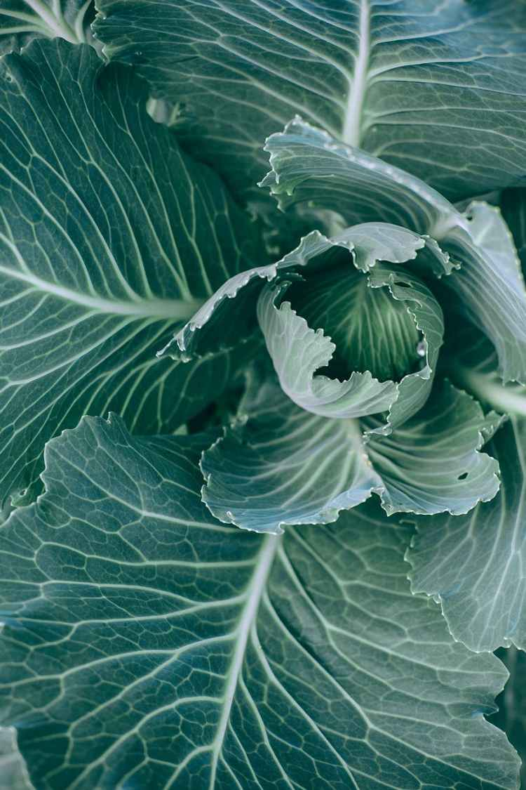 green cabbage growing in garden