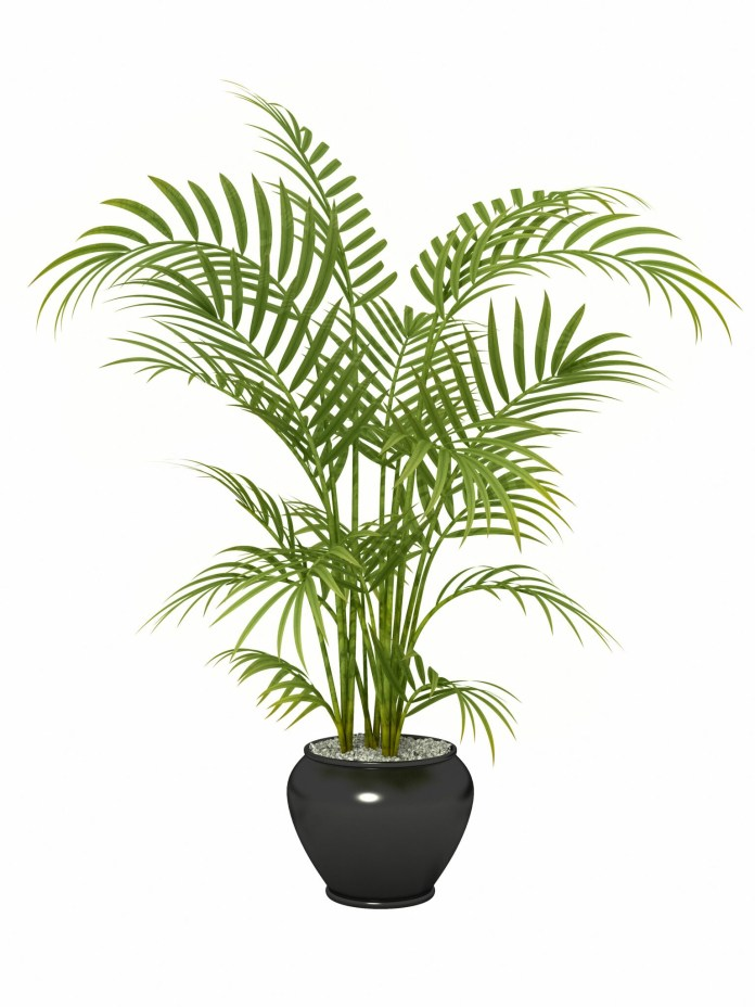 Areca Palm Health Benefits and air purification