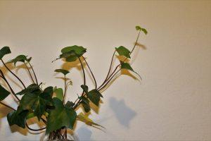 english ivy health benefits and air purification