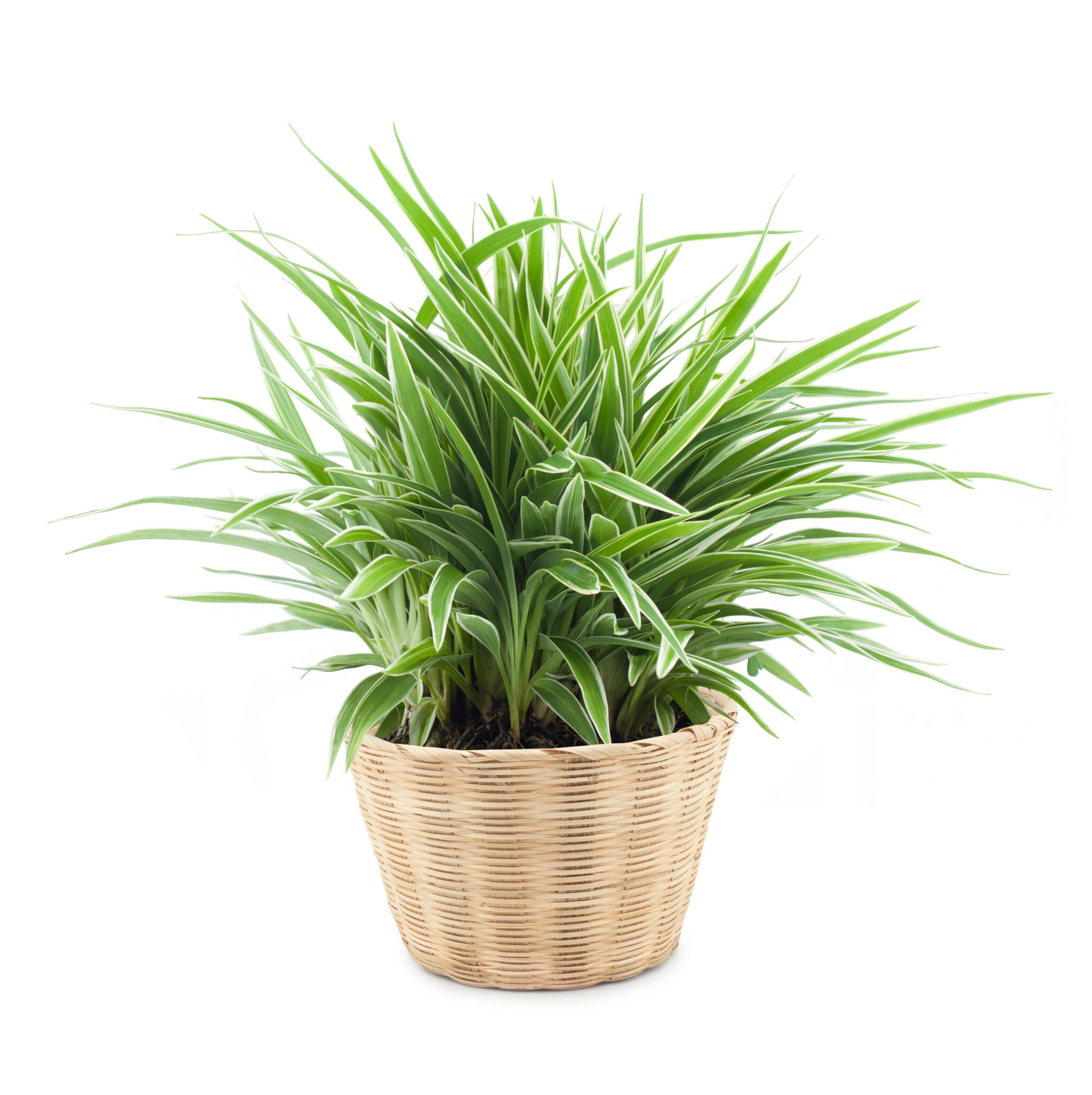 types of spider plants